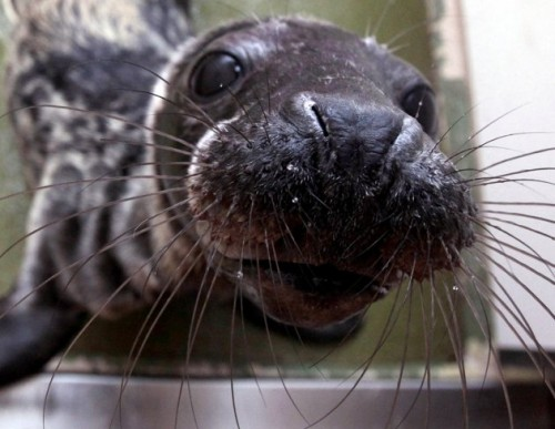 When big storms hit the coast, adult seals can swim through the rough seas, ...