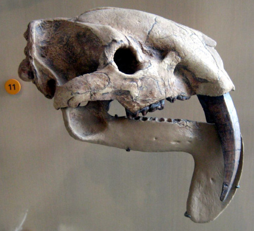 Thylacosmilus - Neatorama